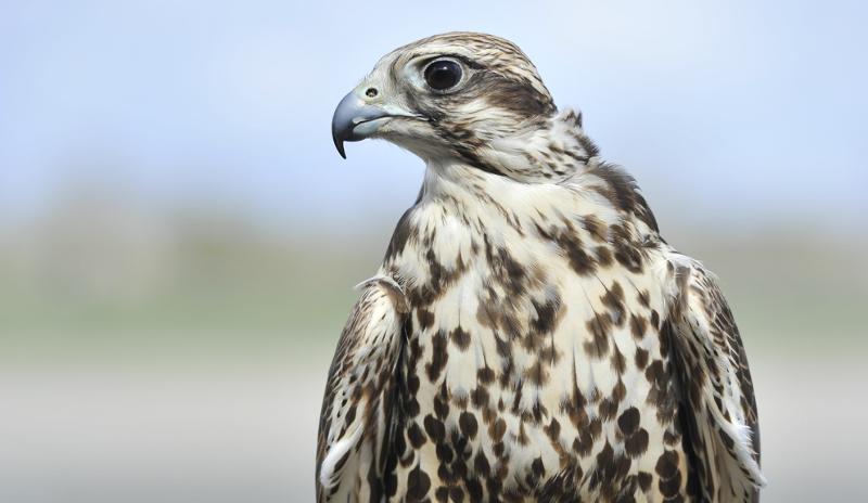 Drones baladeurs : des aigles utilisés pour dégager les aéroports ? – Air&Cosmos